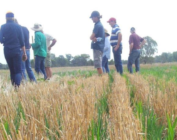 cover crop stubble